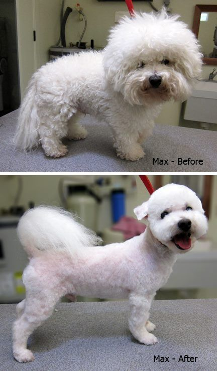 bichon frise haircut 269 best quot before quot amp quot after quot grooming photos images on 4361