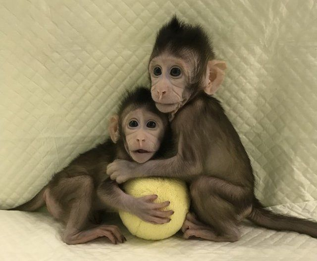 Zhong Zhong and Hua Hua are the first monkey clones created by somatic cell nuclear transfer.