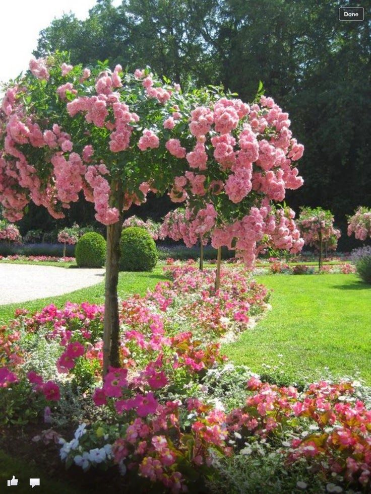 French rose tree