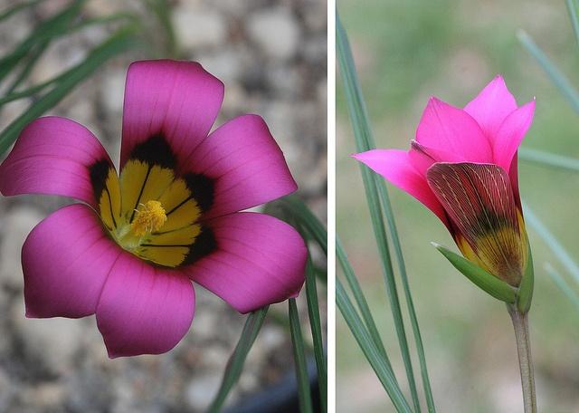 Romulea Subfistulosa Flowers Wild Flowers Seed Pods