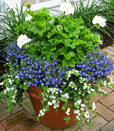 Kombination aus weiß blühender Geranie (Pelargonium zonale), blauem Männertreu (Lobelia) und weißer Schneeflocken-Blume (Sutera).