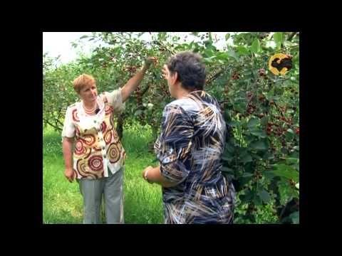 Сад и огород-98 Вишня, черешня - YouTube