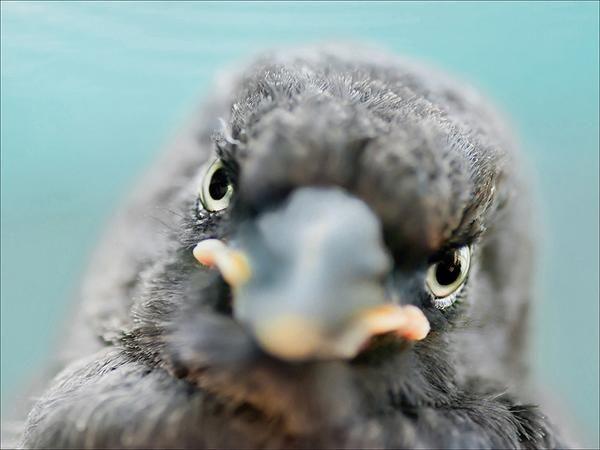 Squeak Baby Currawong  - bird photography print by nature photographer and wildlife carer Angela Roberston-Buchanan. #lifebetterwithart