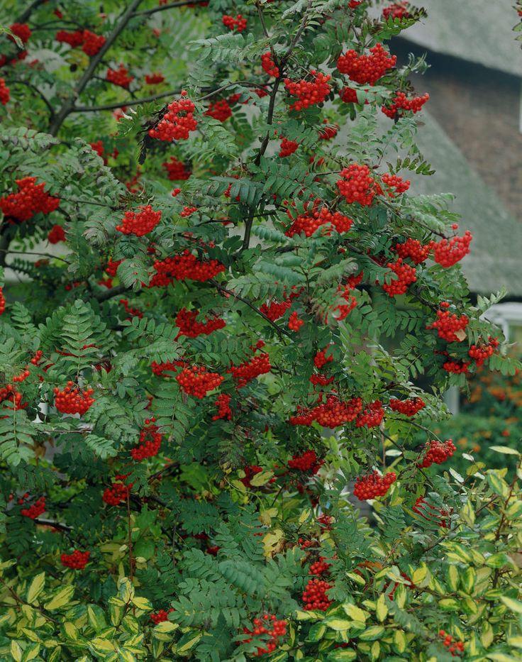 Vogelbeere • Sorbus aucuparia • Eberesche • Vogelbeerbaum • Pflanzen & Blumen • 99Roots.com