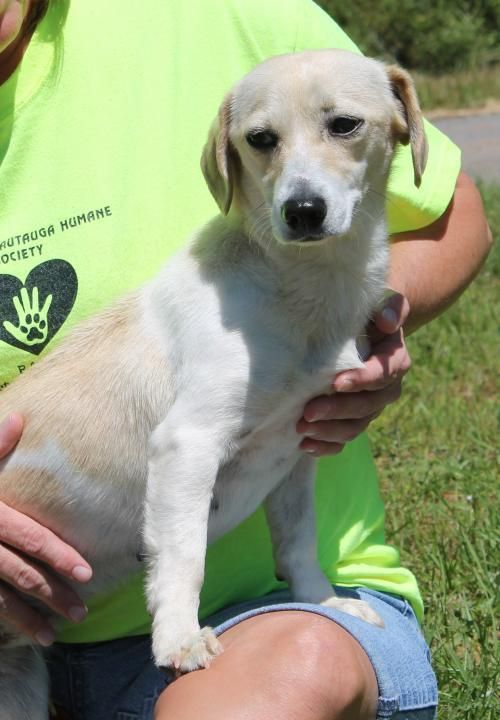 Meet Sara Lee 22354, a Petfinder adoptable Dachshund Dog | Prattville, AL | Sara Lee is a 1-year-old female Dachshund/Terrier mix. She is white with tan spots and weighs 15...