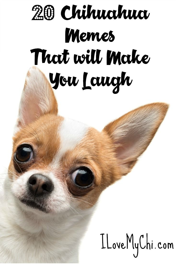 20 Chihuahua Memes That Will Make You Laugh Chihuahua Chihuahua