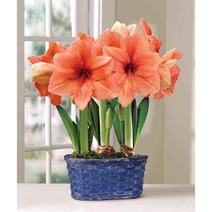 Amarillys flowers pinterest fresh flowers flower for Amarilis decoration