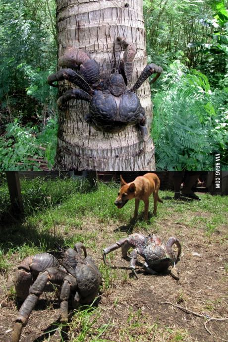 Behold, the terror that is the Giant Coconut Crab.