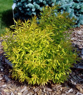17 best images about garden front yard on pinterest sun for Low maintenance shrubs full sun