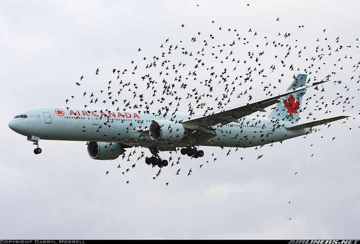 Boeing 777-333/ER. Great effect as a flock of birds fly beside the aircraft some distance away