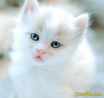Fluffy White Kitten With Blue Eyes | Cuteness | Pinterest