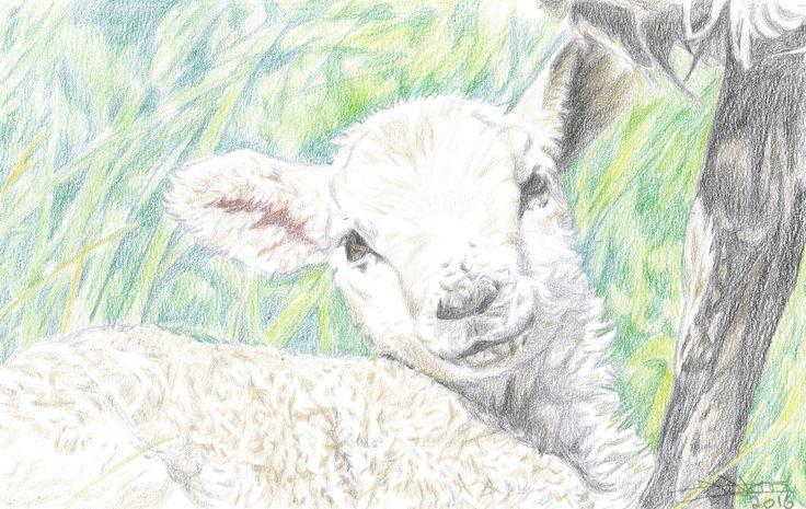 lamb drawing in colour pencil
