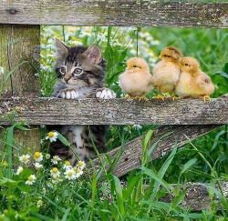Kitten and chicks