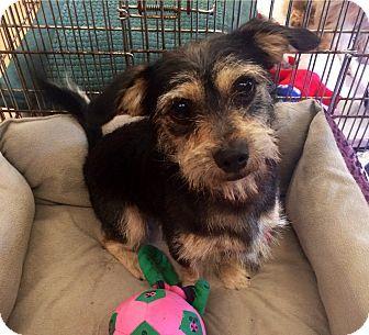 Boca Raton, FL - Miniature Schnauzer Mix. Meet Mario, a dog for adoption. http://www.adoptapet.com/pet/10921419-boca-raton-florida-miniature-schnauzer-mix