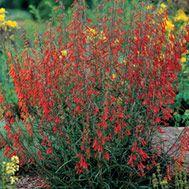Penstemon barbatus (Beardlip penstemon) - Fine Gardening Plant Guide