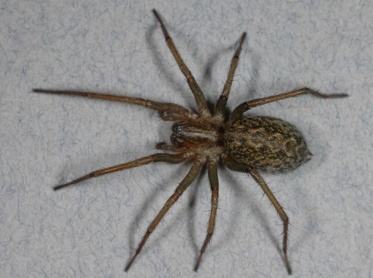 Hobo spiders actually aren't deadly...Just so y'all know
