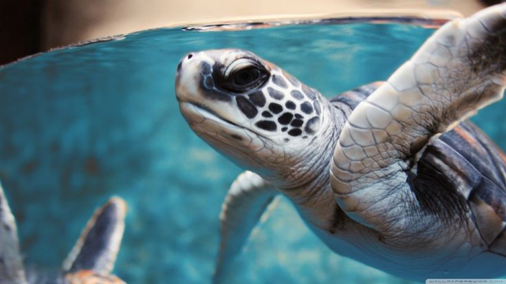 2017-03-24 - Backgrounds High Resolution: sea turtle image - #1414421