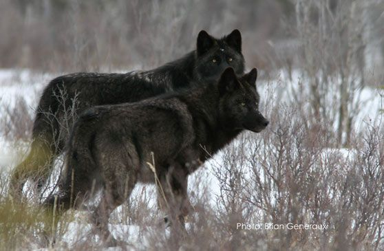 wolveswolves:  Black melanistic wolves at Jasper National Park By Brian Genereux. 70% of the wolves in Jasper National Park is black. These are just claims, but according to a study in science, Global Warming would favor these black wolves.