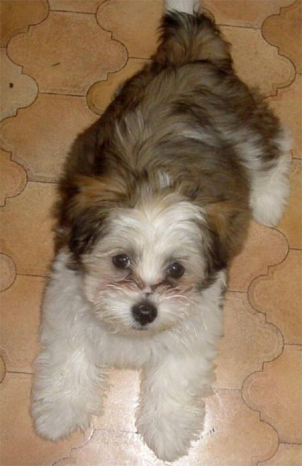 brown maltese dog brown maltese shih tzu puppies zoe fans blog maltese 1619