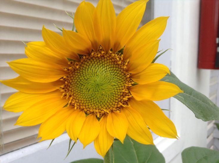 Sunflower @ oleoleollie echo beach Bali