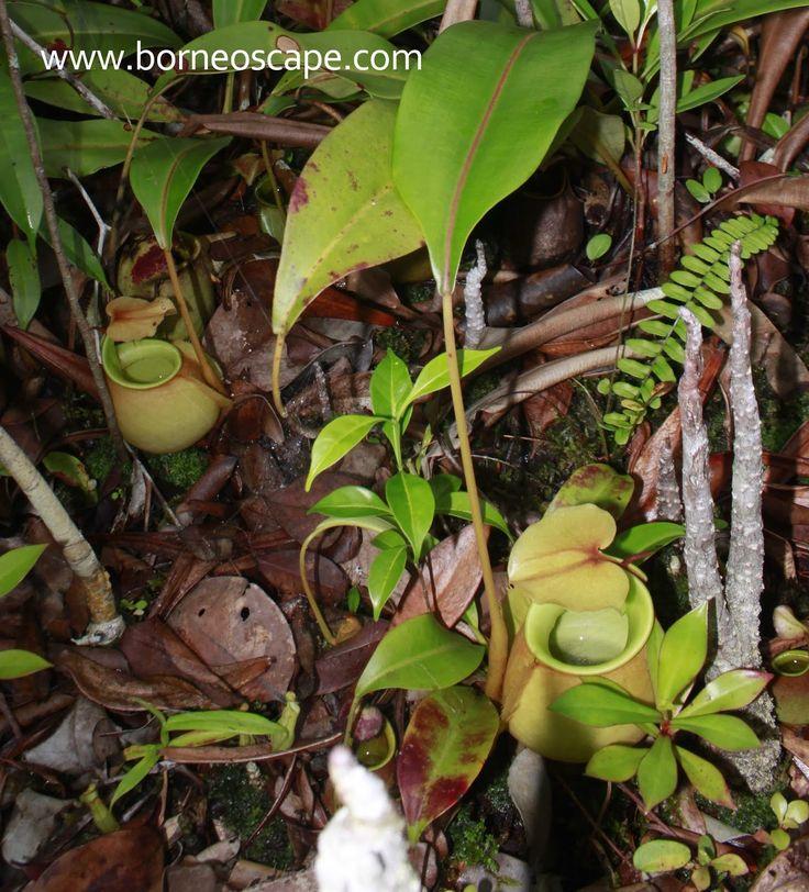 Nepenthes bicalcarata | BorneoScape