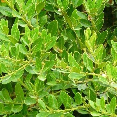 Un Buis à croissance rapide ! LeBuis des Baléares se trouve à l'état sauvage en Andalousie et aux Baléares. Ce buis à pousseassez rapide forme dejolies haies.Le Buis des Baléares est utilisé pour faire des haies brise-vuesbien opaquesen jardinière.C'est une variété debuis originale et poussante. Arbuste à port érigé pouvant atteindre 2m, le Buis des Baléares croît rapidement. Ses feuilles sontovales etplates, très décoratives et plus grosses que cellesdes buis commun.
