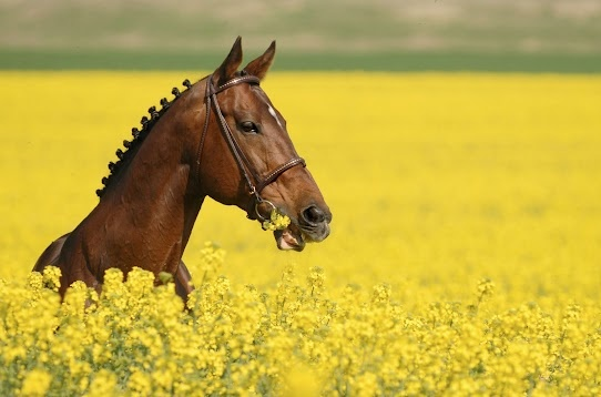 Beautiful Hors, Horses, Spring Fever, English Riding, Flower Fields, Hors Flower, Beautiful Creatures, Yellow Flower, Animal