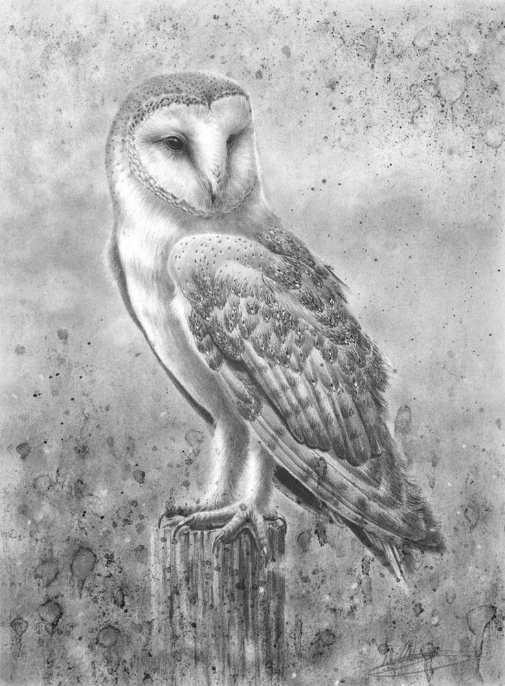 55 best Barn Owl Project images on Pinterest | Barn owls, Owls and ...