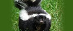 Skunk Deterrent | Skunk Facts
