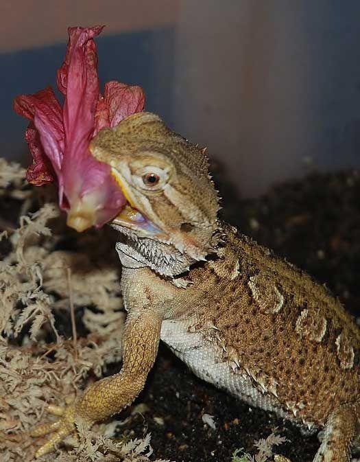 rankins bearded dragon eating hibiscus