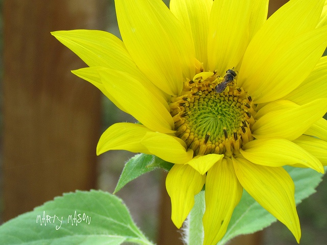 bee sipping dew from sunflower bowl by Martys Fiber Musings, via Flickr