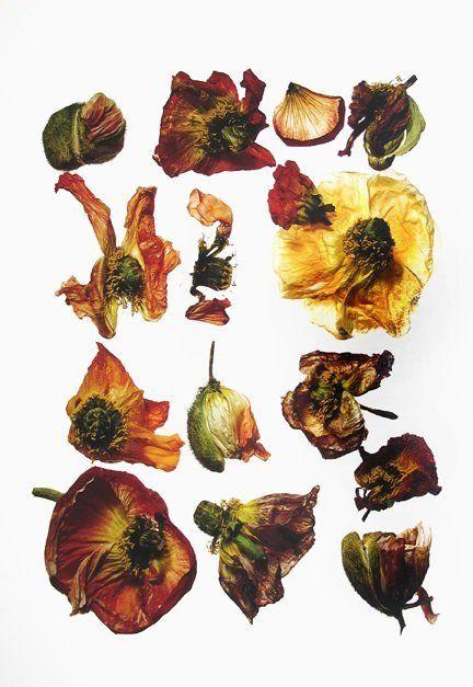 Irving Penn - Flowers   Hamiltons