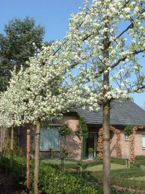 Pyrus calleryana 'Chanticleer'  Een prachtige rijk bloeiende leisierpeer. Bloeit zeer vroeg, vaak al in maart tot midden april. Na de bloei volgen zelden kleine niet eetbare vruchten. De bladeren blijven lang aan de boom hangen vaak tot begin december. Het beste kunt u de boom in de wintermaanden snoeien, alle twijgen  die op de zijarmen staan insporen (3 tot 4 cm)  twijgen op de stam insporen(o cm).