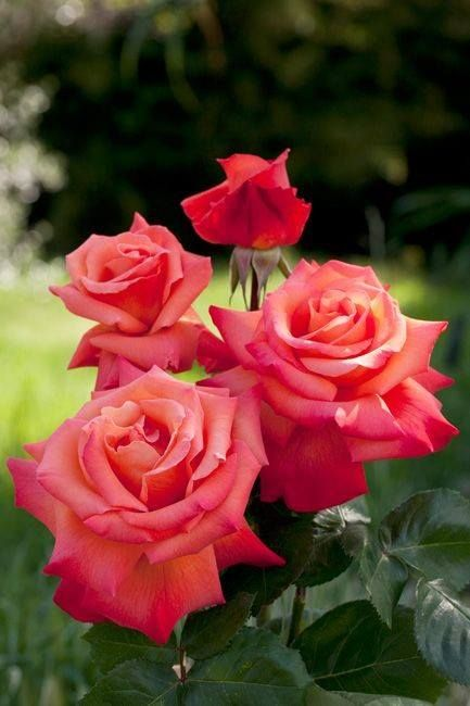 Hybrid Tea Rose 'Christopher Colombus'