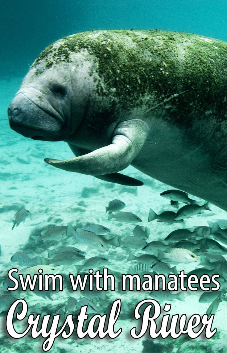 The Plantation on Crystal River is a beautiful Florida city to vacation in, and get up close to the Crystal River manatees.