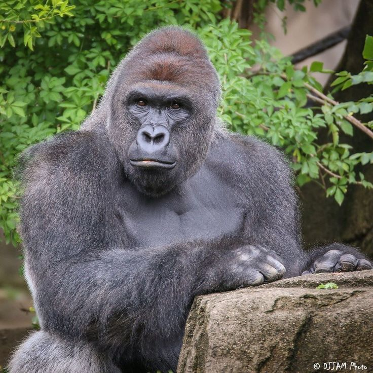 Will Gorilla's Death Change How Zoo Animals Are Treated?