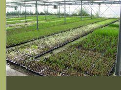 DIGITALIS (Vingerhoedskruid) - Vaste plantenkwekerij
