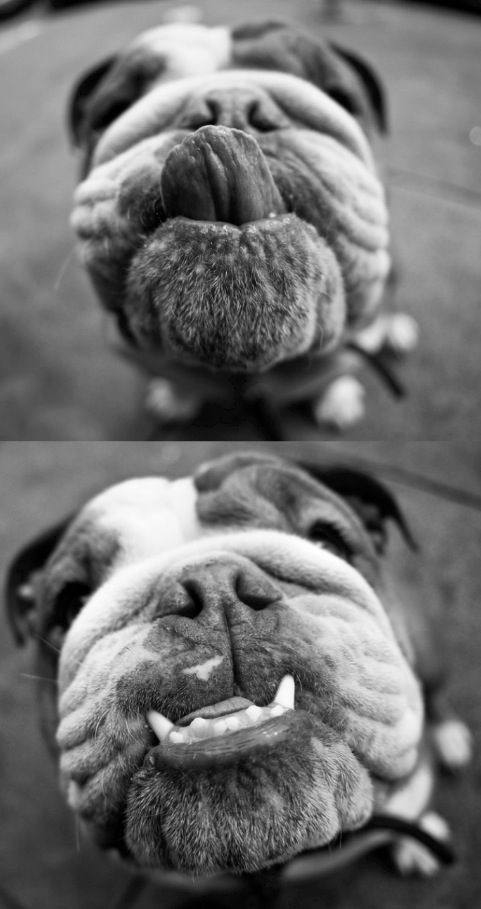 English Bulldog... what a nice smile
