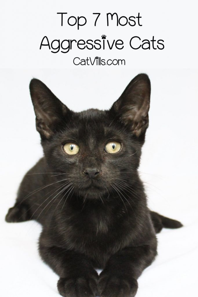 7 Most Aggressive Cat Breeds Catvills In 2020 Cat Breeds Halloween Names For Cats Pets