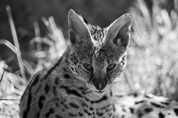 monochrome serval