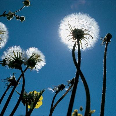 how to get rid of dandelion weeds in grass