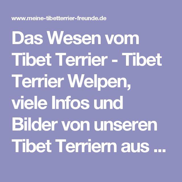 Das Wesen vom Tibet Terrier - Tibet Terrier Welpen, viele Infos und  Bilder von unseren Tibet Terriern aus Thüringen