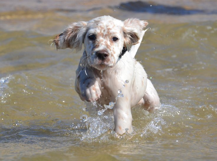 "Click visit site and Check out Best ""English Setter"" T-shirts. This website is excellent. Tip: You can search ""your name"" or ""your favorite shirts"" at search bar on the top."