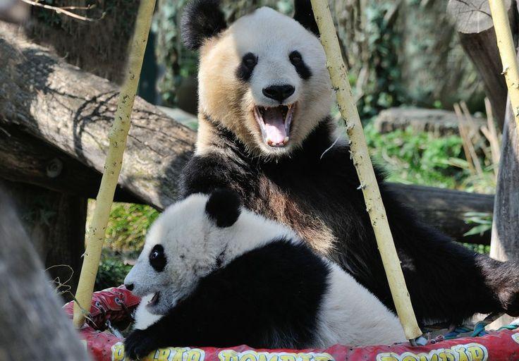Panda boy Fu Bao with Mom, 10. April 2014, Zoo Vienna