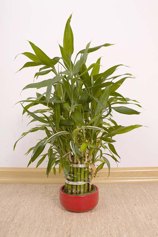 Lucky Bamboo Trees Need Indirect Light Indoors