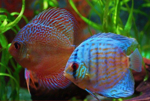 les 389 meilleures images du tableau magnifique discus sur pinterest aquariums poissons. Black Bedroom Furniture Sets. Home Design Ideas