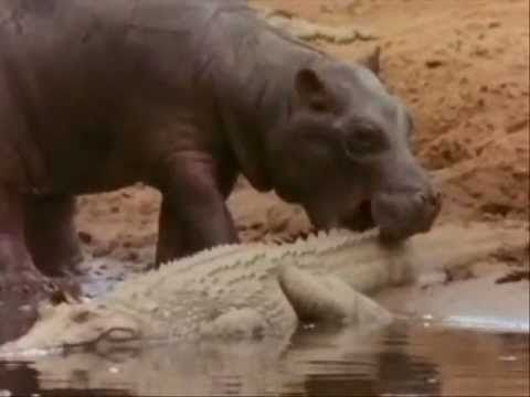 http://www.powermindsubliminal.com/  http://www.holographic-disclosure.com/  http://secretofsecrets.info/  Hippo's shows the crocodiles who's the boss even in the eating frenzies.Played to Beethoven 5th Symphony.