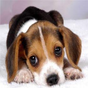 Beagles, lo bueno y lo malo