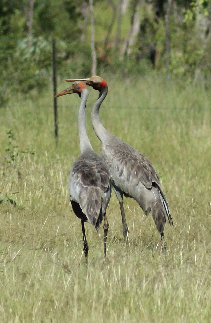 brolga   Brolga. I did not take this picture but I saw a pair of brolga in a paddock, near the river, between Kempsey and South West Rocks.