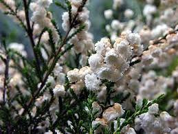 hvit høstblomst